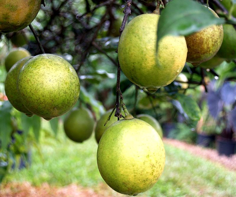 Kelle - Meyer lemons