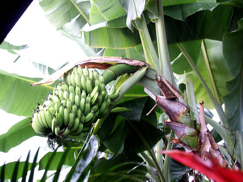 Kelle - Dwarf Brazilian bananas
