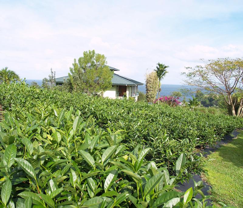 Onomea Tea - 1 sm