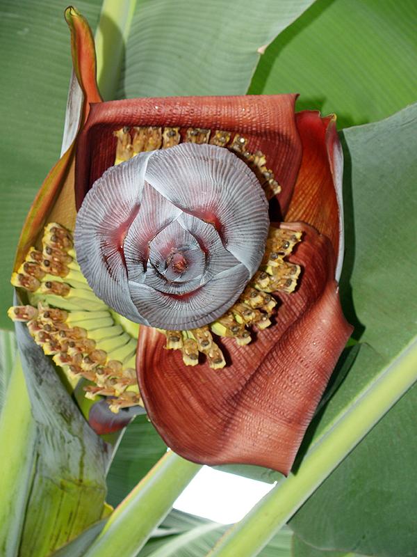 Banana Bloom - giant 2 - from beneath