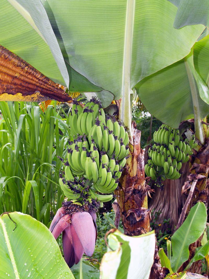 Banana bloom & keikis