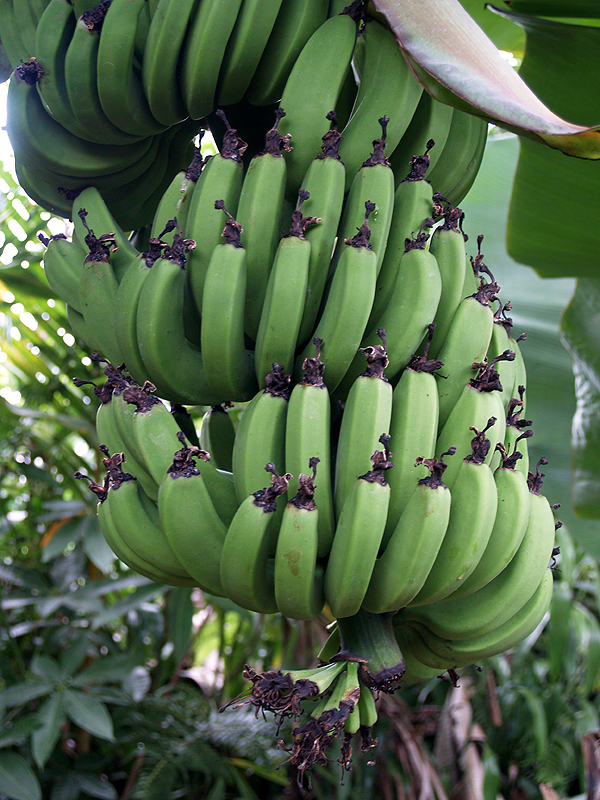 Banana rack - big - Kele