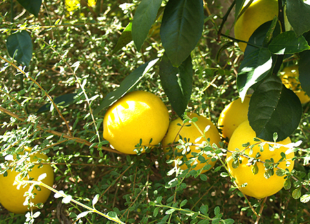 Meyer Lemons on tree 1 sm