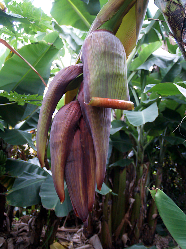 Banana Bloom - giant 1