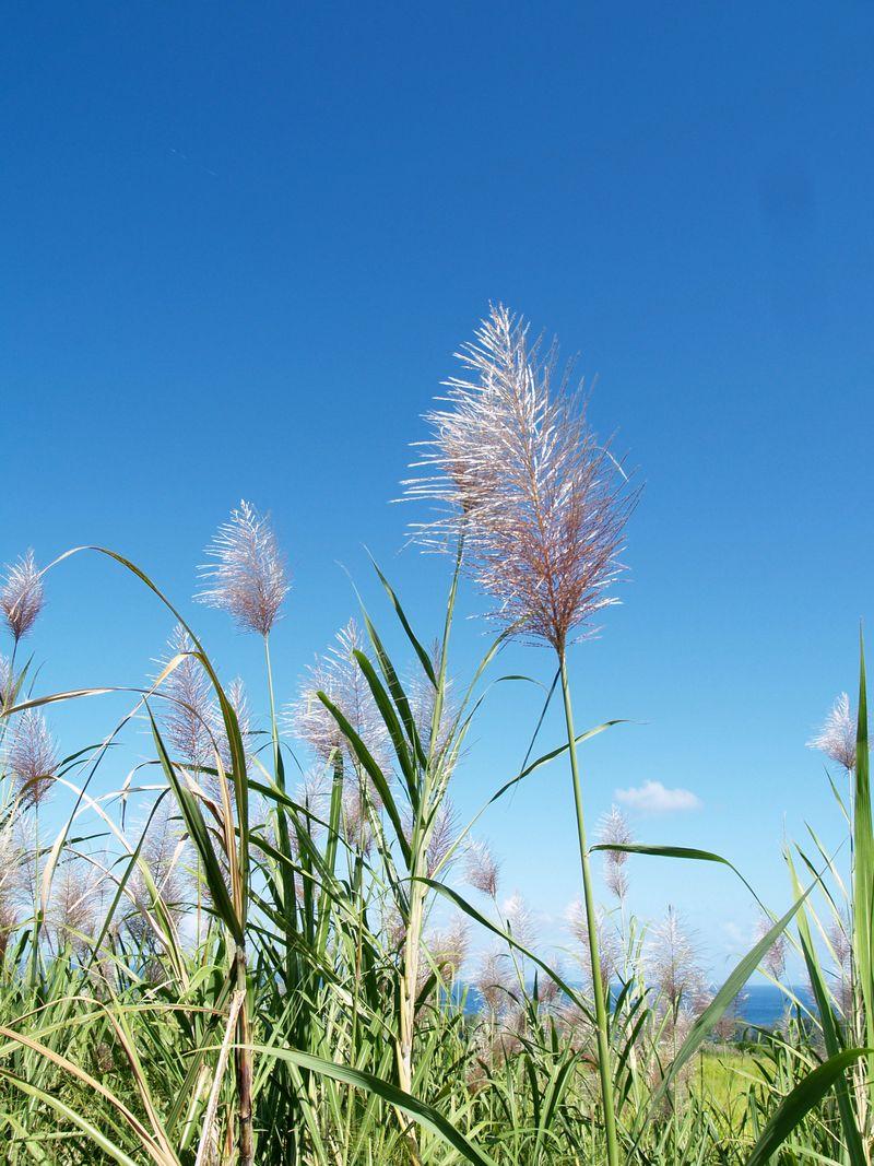 Sugar Cane Plumes 2