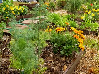 Over - Fennel dill, Orange Marigolds