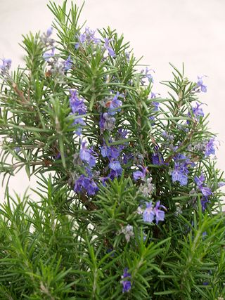 Rosemary in bloom - sm