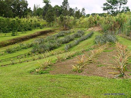 HCM - 2 - the pineapple planting