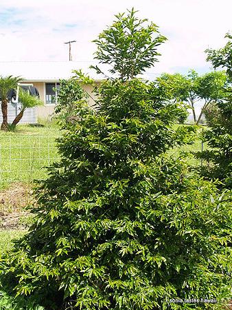 HCM - 11 - Typica coffee tree