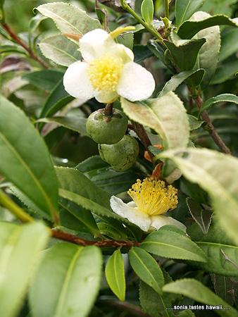 HCM - 8 - Tea bush blooms
