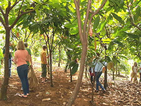Cacao - group harvesting the trees sm