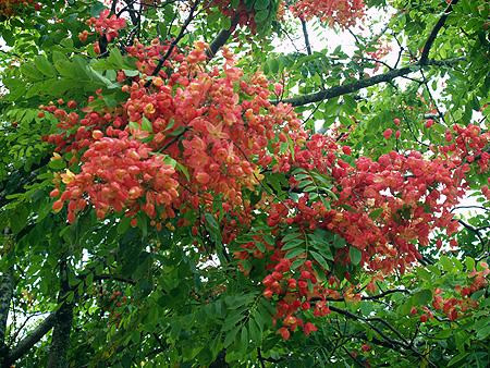 Rainbow Shower trees - Cassia fistula x javanica 7 sm