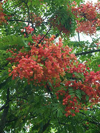 Rainbow Shower trees - Cassia fistula x javanica 6 sm