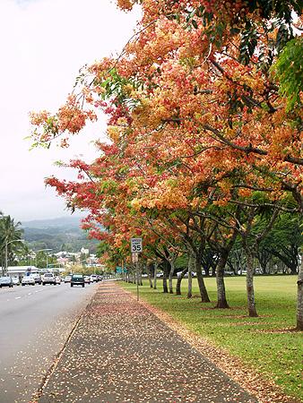Rainbow Shower trees - Cassia fistula x javanica 1 sm