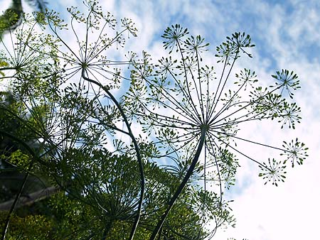 GARDEN - Dill blooms - sm