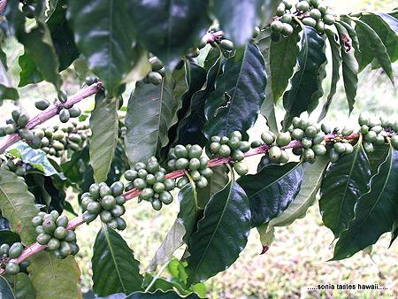 HCM - 3 - coffee tree branch loaded with cherries