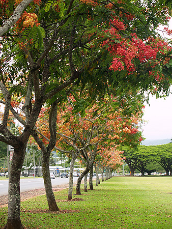 Rainbow Shower trees - Cassia fistula x javanica 5 sm