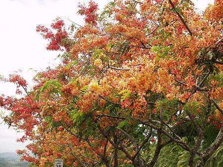 Rainbow Shower trees - Cassia fistula x javanica 4 sm