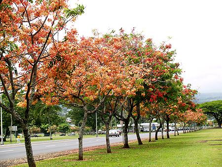 Rainbow Shower trees - Cassia fistula x javanica 2 sm