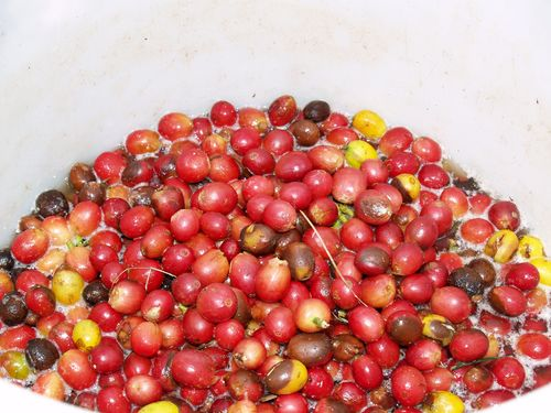 Coffee Berries - soaking 2