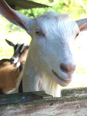Lava Rock Goat Farm - Hello!