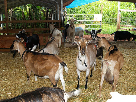 Lava Rock Goat Farm - Any idea what they are...