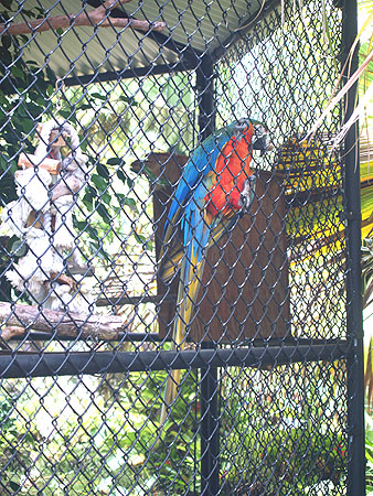 Panaewa Zoo - Amorphophallus titanium - Mac - he has a large vocabulary