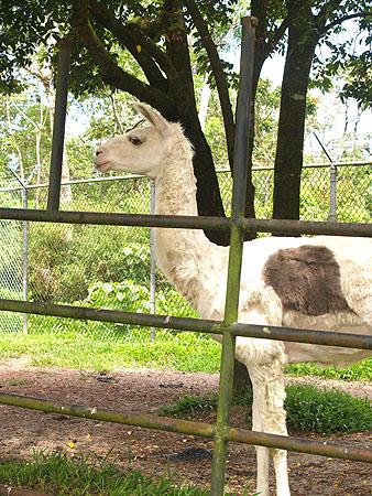 Panaewa Zoo - Llama