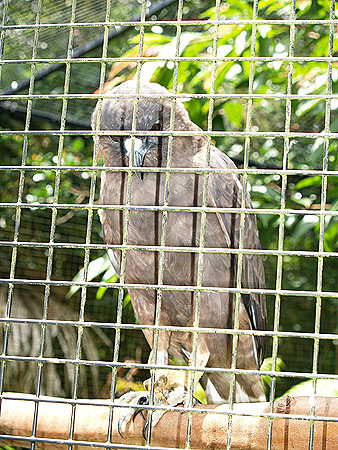 Panaewa Zoo - Hawaiian Hawk or 'Io