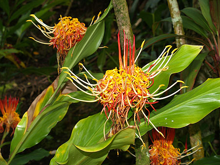 Panaewa Zoo - Thai ginger lily