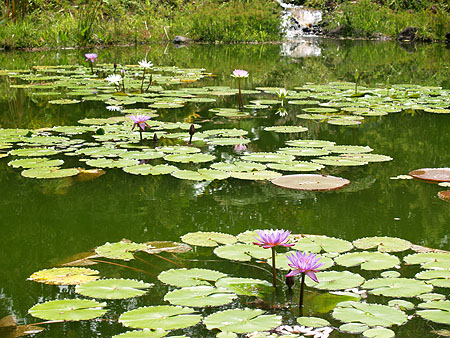 Panaewa Zoo - Our own little Giverny lily pond