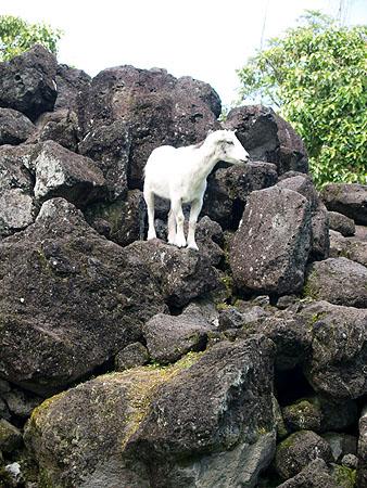 Panaewa Zoo - Pigmy Goat