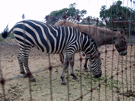 Miss Sudy - Zebra and burro