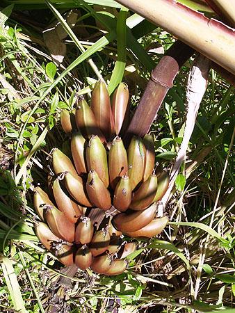 Banana - Cuban Red 9