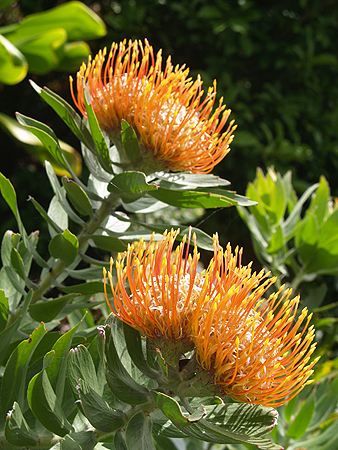 Protea - Kukuihaele 1 sm