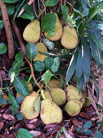Jackfruit - Kukuihaele