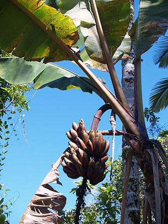 Banana - Cuban Red 4