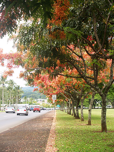 Hilo ablaze - panoramic sidewalk 1 sm