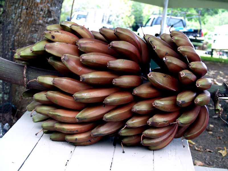 Breadfruit 2012 - Cuban Red banana rack