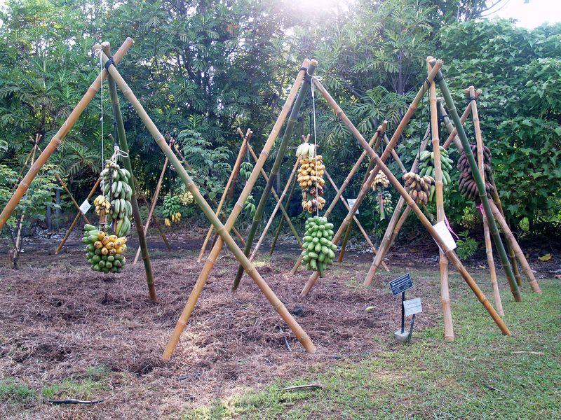 Breadfruit 2012 - banana teepe frames 1