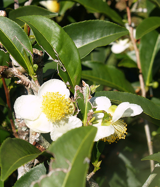 Onomea Tea - Camelia sinensis bloom