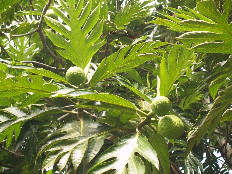 Breadfruit - tree