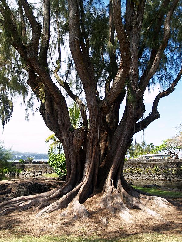 Hilo - Old Ironwood tree - 1