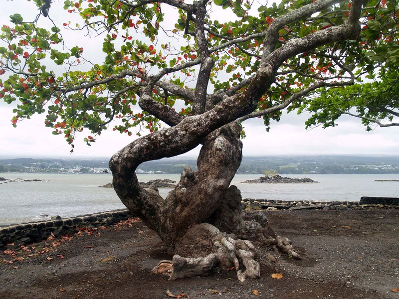 Tree at Coconut Island parking area 2