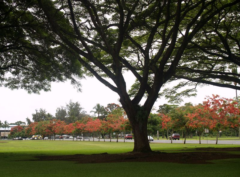 Hilo ablaze - panoramic w monkeypod 1