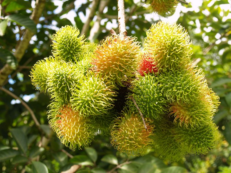 HTFG - Onomea tour - rambutan - green and ripening