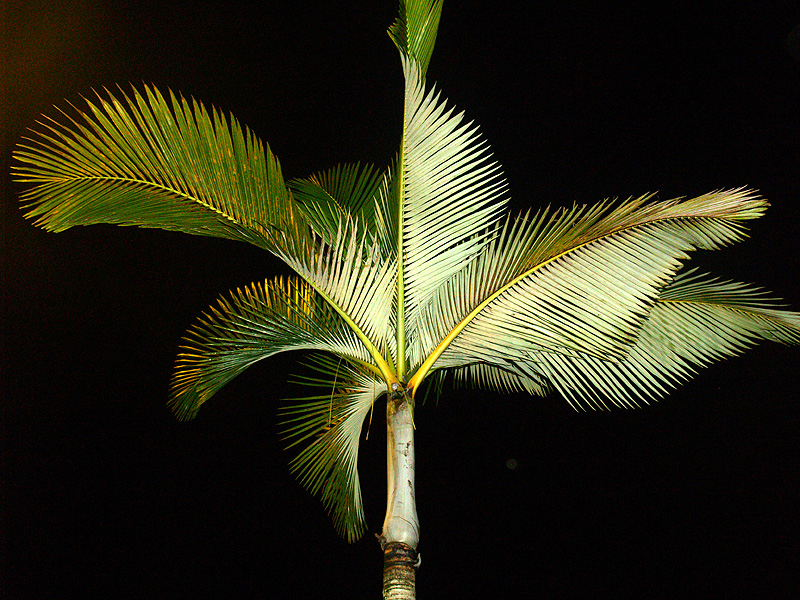 Palm at night - in front of Long's Prince Kuhio