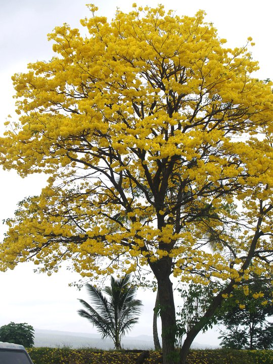 Tabebuia chrysanthus commonly known as Yellow Tecoma or Gold Tree