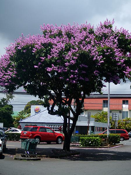 Tree - Long's parking lot