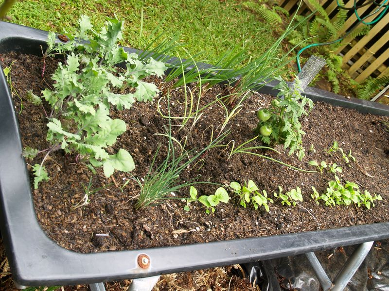 Pig trough planting area 6 - kale, tomato, chives, onions, lettuce